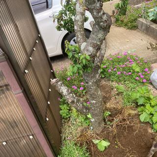 庭木の抜根作業