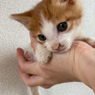 茶トラ お目目の大きな男の子 1ヶ月 仔猫 里親