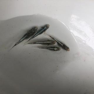 サバの極み メダカ めだか 卵付き産卵床