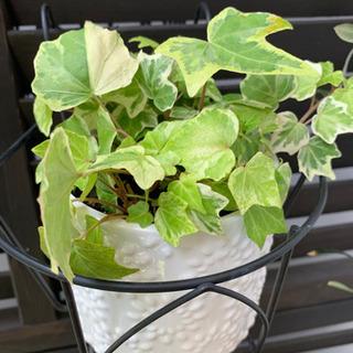 アイビー 陶器の植木鉢付 観葉植物
