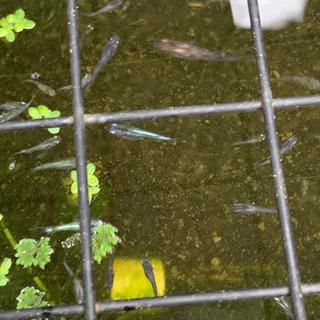各種メダカの稚魚MIXをお譲りします。