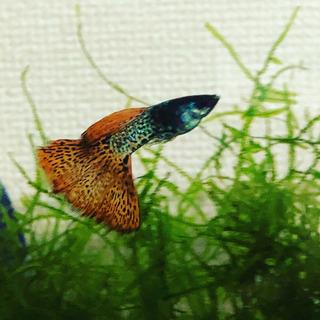 【熱帯魚】オレンジタイガーグッピー(国産)ペア−