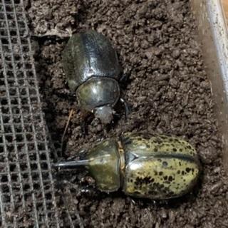 カブトムシ  ティティウスシロカブト幼虫5頭