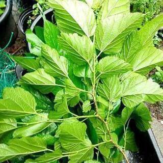 カルシウム豊富な桑の葉1枚1円②