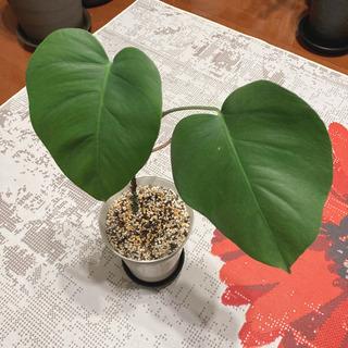 観葉植物 モンステラ ボルシギアナ 幹立ち 鉢付き