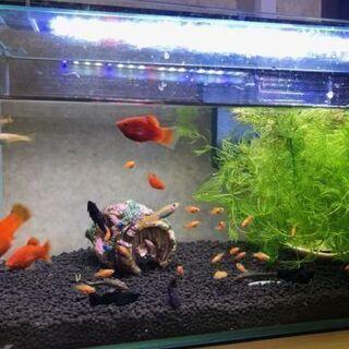 ★熱帯魚★レッドムーン(プラティ)稚魚