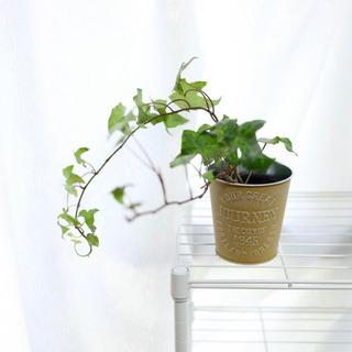 アイビー ヘデラ カリフォルニアゴールド 観葉植物i-4