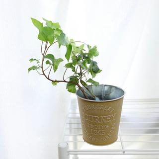 アイビーヘデラ カリフォルニアゴールド 観葉植物i-5