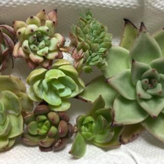 韓国苗 8種類 8個セット 詰め合わせ カット苗 多肉植物