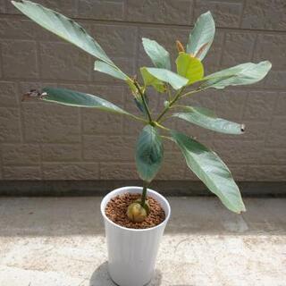 アボカド 苗木
