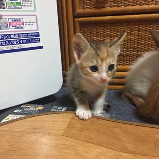 1ヶ月半三毛猫女の子