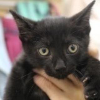 【里親決定】オス 2ヶ月の仔猫 黒猫