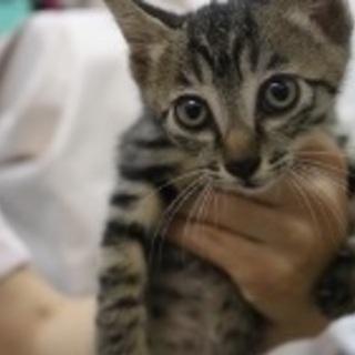 【里親決定】 オス 2ヶ月の仔猫 キジトラ
