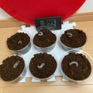クラビゲールタテヅノカブト⑤ 幼虫5→6匹