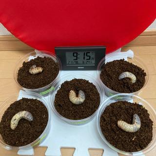 サビイロカブト幼虫⑤   4→5匹セット
