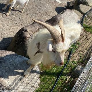 オスのヤギ2頭(推定4才、2才)