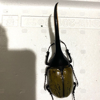ヘラクレスオオカブト(死虫) オキナワノコギリ