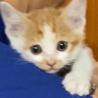 命拾いしたこの子を愛して助けて下さい 仔猫 生後45日くらい 男の子