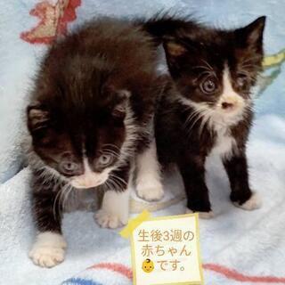 生後3週赤ちゃん👶仔猫の姉妹(ハンデ有り)里親様募集♥