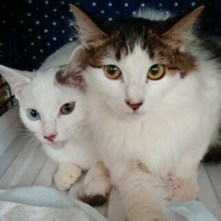 オッドアイ♀&長毛♂の美猫2匹生後5ヶ月前後