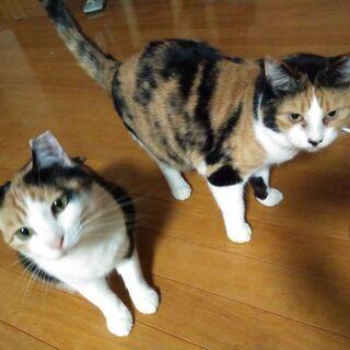 三毛猫姉妹 海ちゃん空ちゃん推定4歳