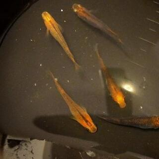 めだか【紅薊】の針子もしくは有精卵+ホテイ草の画像
