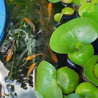 めだか【紅薊】の針子もしくは有精卵+ホテイ草 − 愛知県