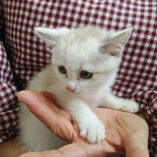保護猫の赤ちゃんメス4匹の里親を募集してます