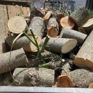 大木伐採します