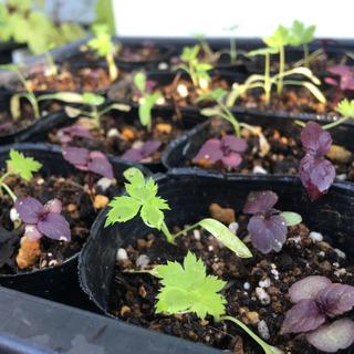 【無農薬栽培】 赤紫蘇・三つ葉のポット苗(残り5ポット)