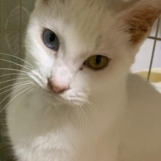 生後7ヶ月 オッドアイ白猫 避妊済み