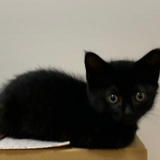 黒ネコの女の子(2ヶ月) 里親さん募集します