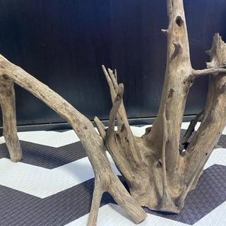 熱帯魚(流木)