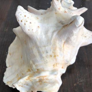 オススメ 貝殻 オブジェ 置物 神秘 インテリア オシャレ…