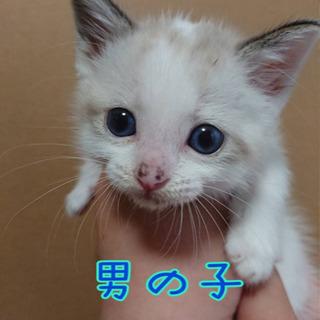 里親さん希望者確定。白猫ちゃん2匹と三毛猫ちゃん兄妹