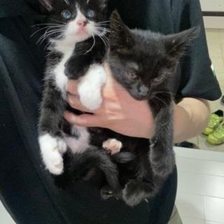 オスとメスの1ヶ月半の子猫
