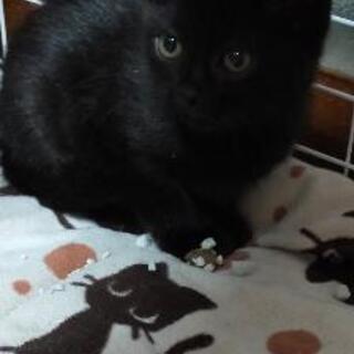 一旦停止 可愛い黒猫 子猫メス 里親募集