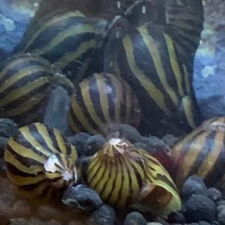 シマカノコガイ 5匹セット