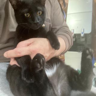 一歳とちょっとの黒猫の男の子です。