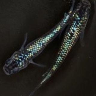黒ラメ幹之メダカ サファイア系 有精卵10+α