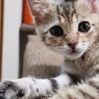 生後1ヶ月の子猫の里親募集