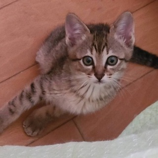 2ヶ月のキジトラ男の子、長シッポの美猫です♪