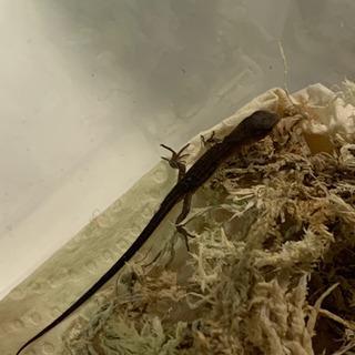 カナヘビの赤ちゃん【終了しました】