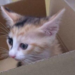 生後2か月の子猫の里親募集です。 子猫の引取先決まりました