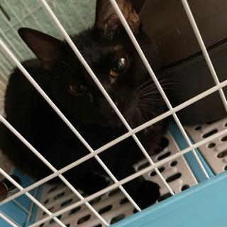 もうすぐ生後1年のかわいいメスの黒猫ちゃんです!