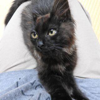 ふわふわな長毛の黒猫くん(オス・2ヶ月)