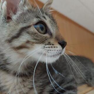 ❇️ハンサムなキジトラ 子猫❇️ トライアル中‼️
