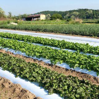 【長期で来れる方大歓迎!】有機農業 玉ねぎ収穫や除草作業などの農...