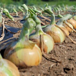 【短期・スポット専用】有機農業 玉ねぎ収穫や除草作業などの農作業補助