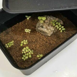 🌿🐠メダカ 6匹 + ヌマエビ + 浮草 の飼育ビオトープセット